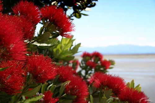 pohutukawa-new-zealand-christmas-tree