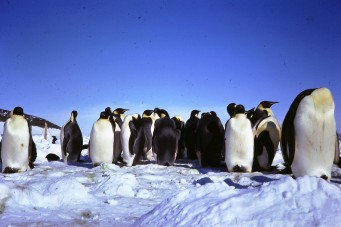 The stately (albeit smelly) Emporer penguins.