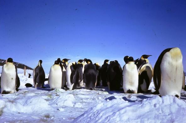 The stately (albeit smelly) Emporer penguins.